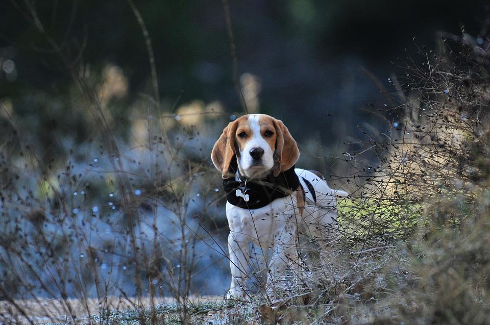 Beagle bebe entre medio de las plantas en un sendero