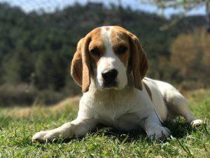 Cachorro Beagle acostado en el campo