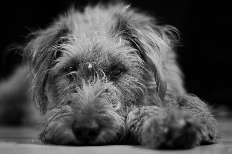 perro lobo irlandes
