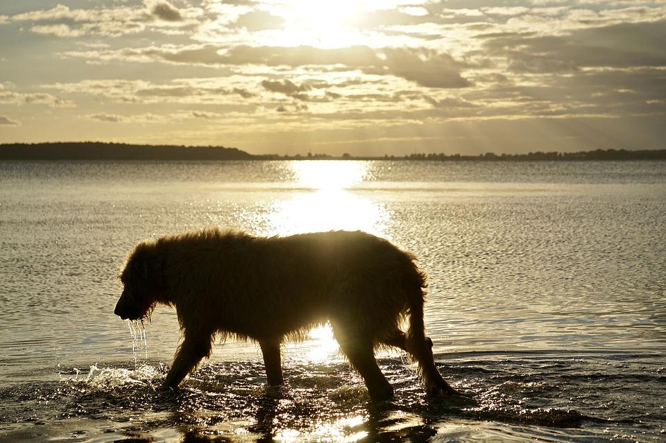 raza de perro irlandes