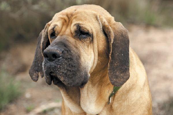 cachorros de fila brasilero