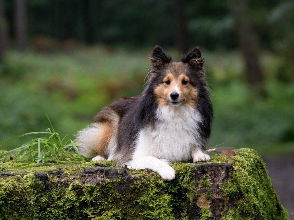 Cachorro Sheltie
