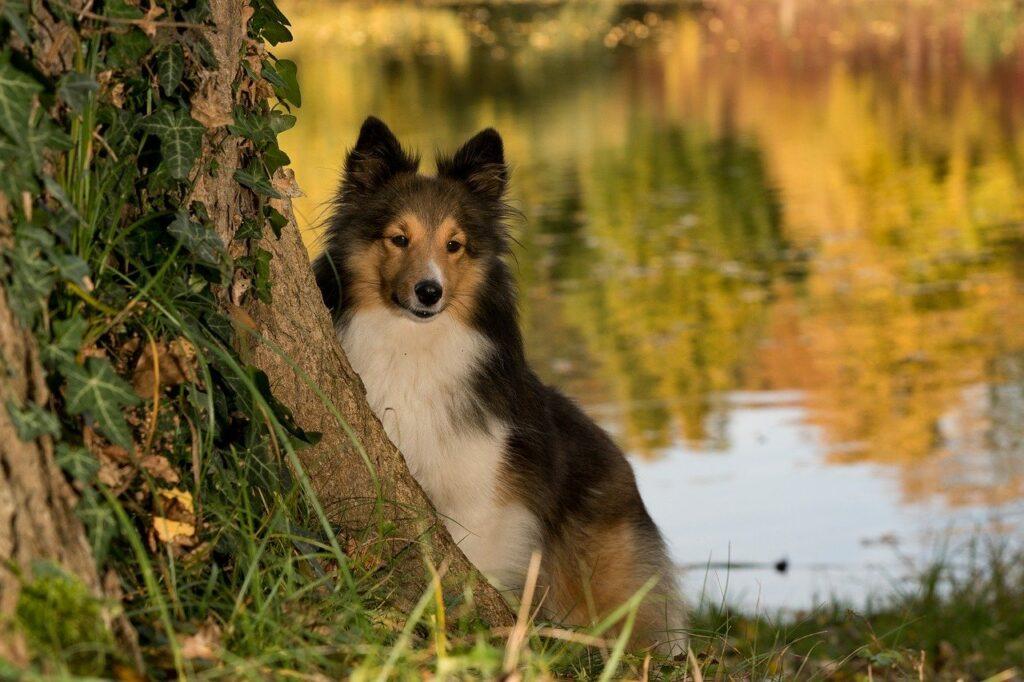 cachorro macho Sheltie
