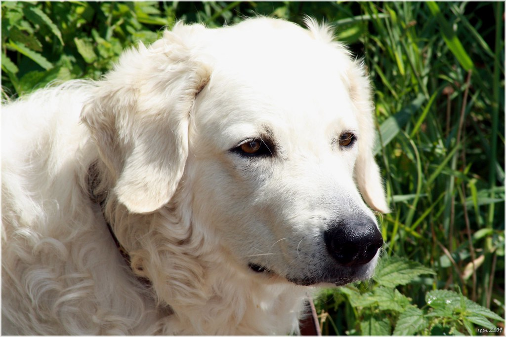 cachorro Kuvasz