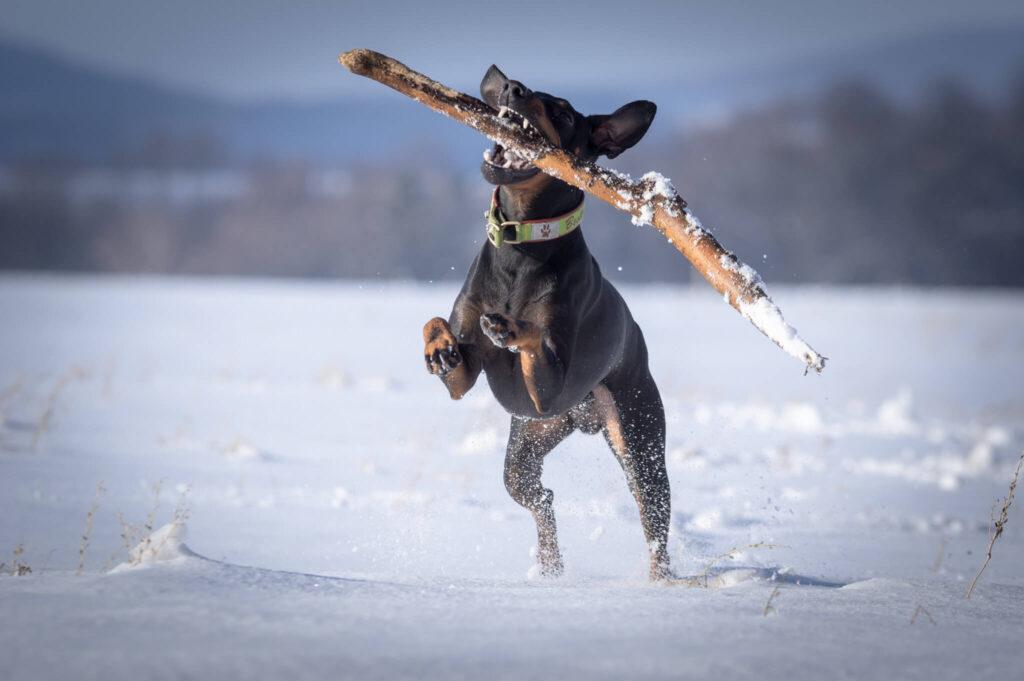raza manchester terrier corriendo