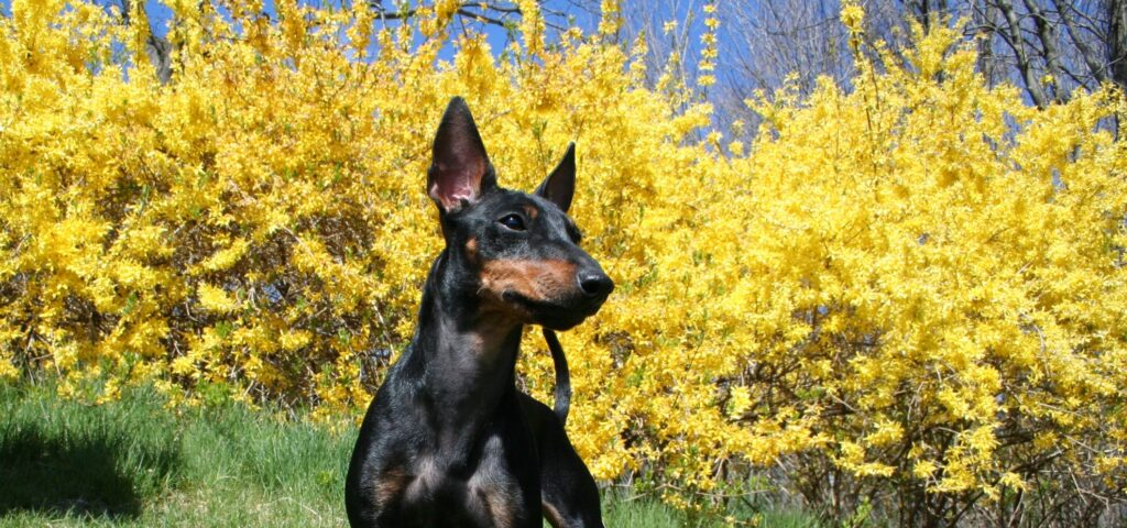 canino manchester terrier