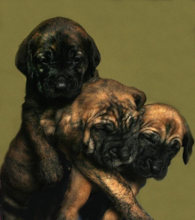 cachorrito de fila brasilero