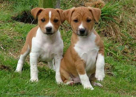 cachorro pinscher austriaco