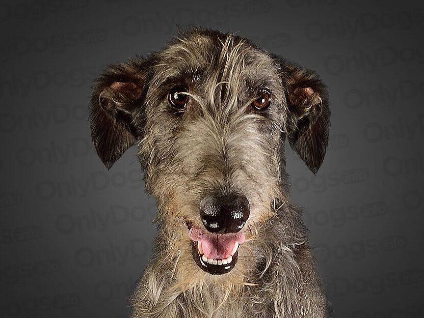 deerhound escoces