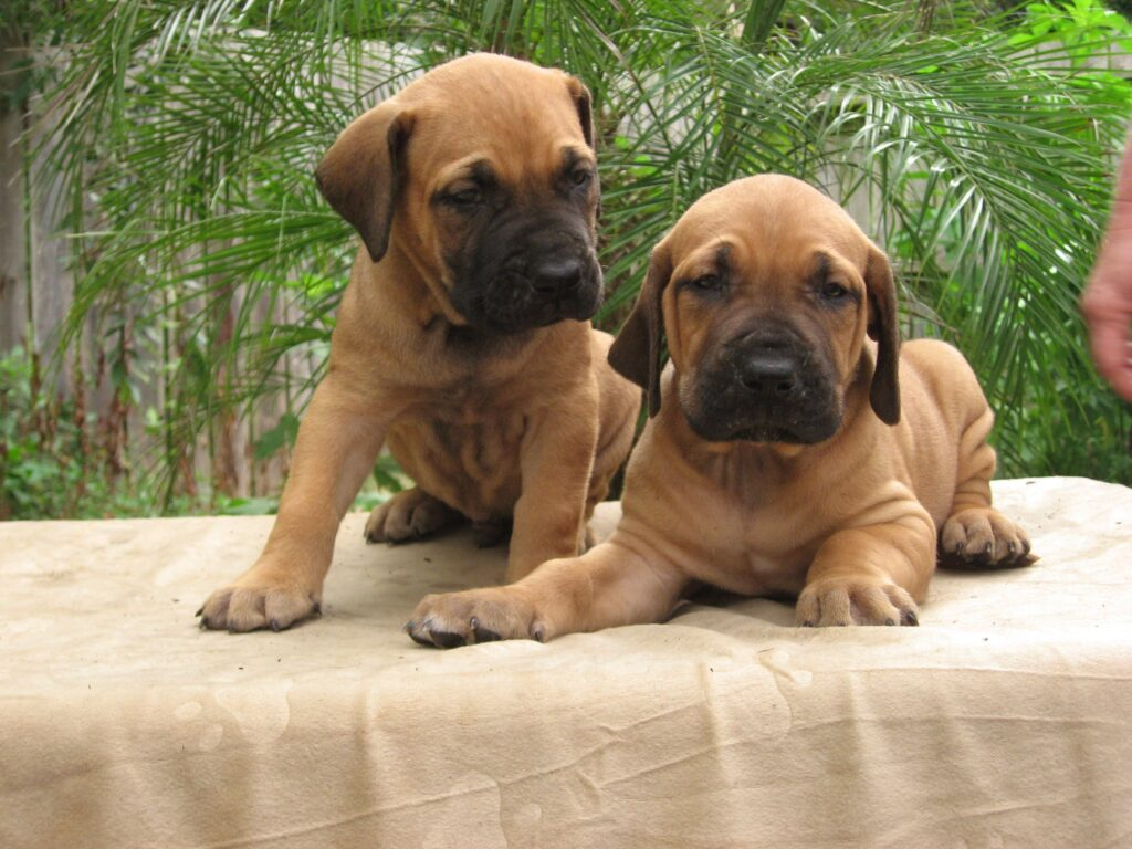 fila brasilero cachorro