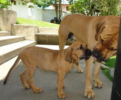 fila brasilero perro