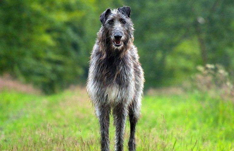 lebrel escoces deerhound características