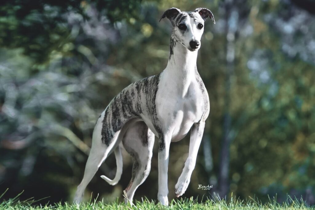 perro Whippet