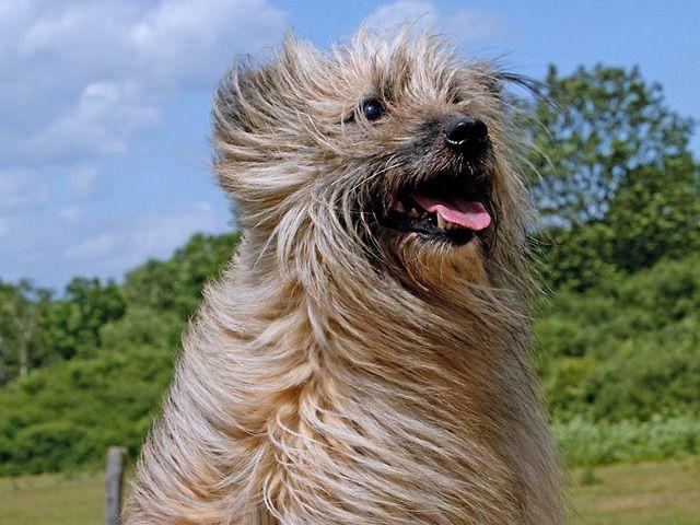 perro pastor de los pirineos