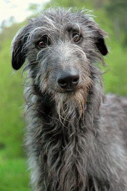 perro lebrel escoces deerhound