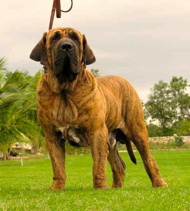 perro raza fila brasilero