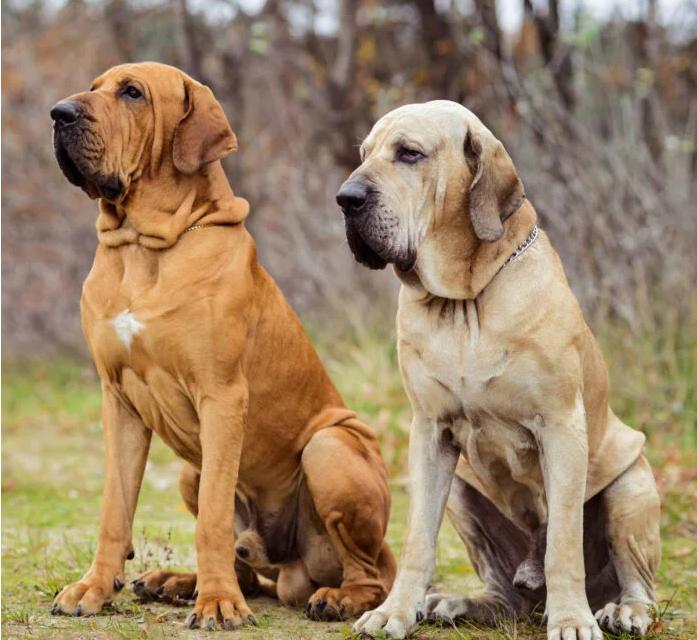 perro fila brasilero fotos