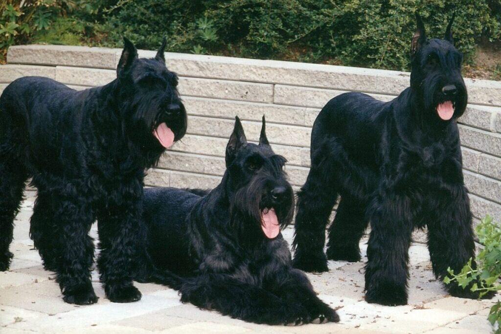 3 perros schnauzers gigantes negros sacando la lengua en el patio