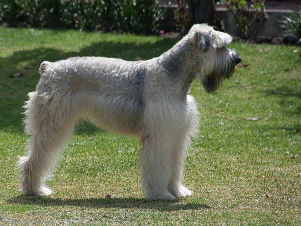raza de perros boyero de flandes de color gris parado de costado en un parque