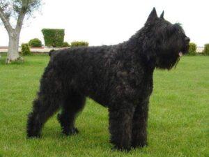perro de raza boyero de flandes negro de costado parado en un campo