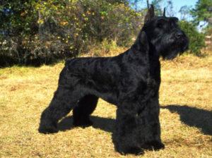 perro schnauzer gigante negro parado en el campo amarillo