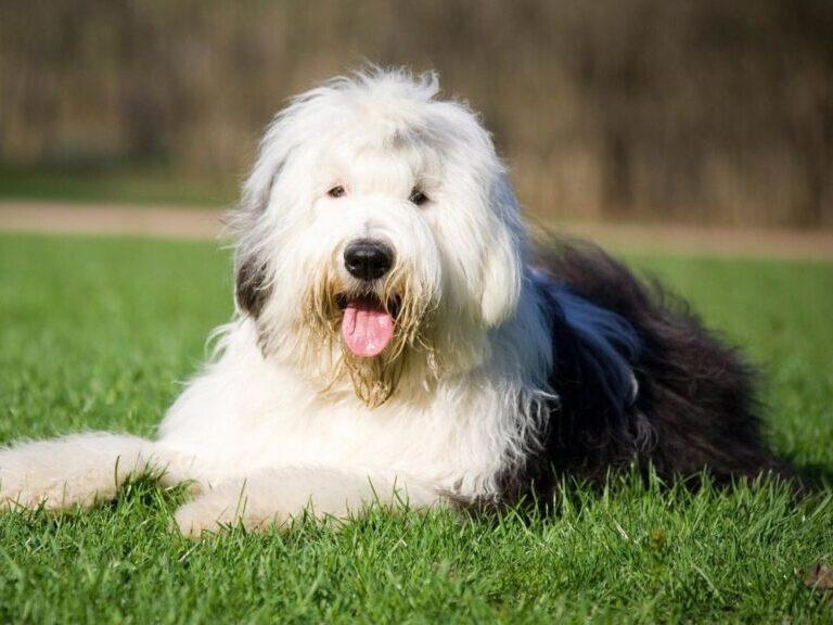 bobtail antiguo perro pastor ingles acostado en el pasto sacando la lengua