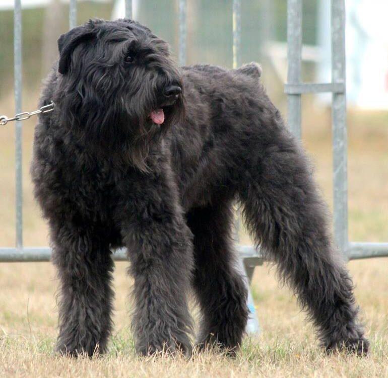 perro boyero negro de flandes parado sacando la lengua