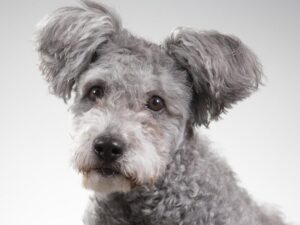 cabeza de perro de raza pumi