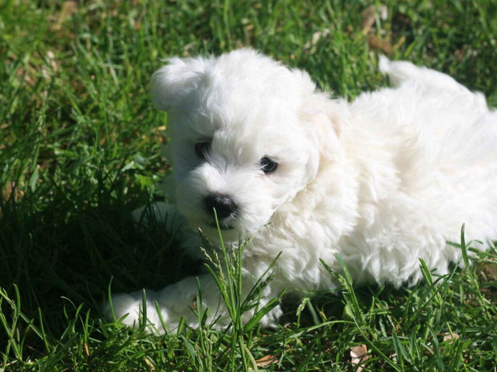 cachorro bichon bolones blanco acostado en el pasto