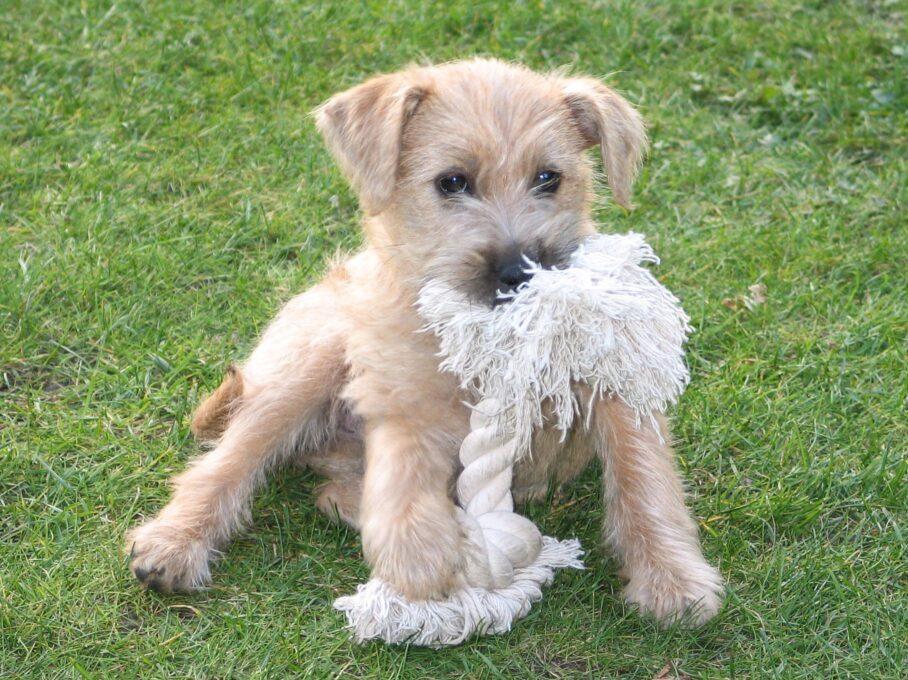 cachorro smous holandes sentado en un campo jugando con una cuerda blanca