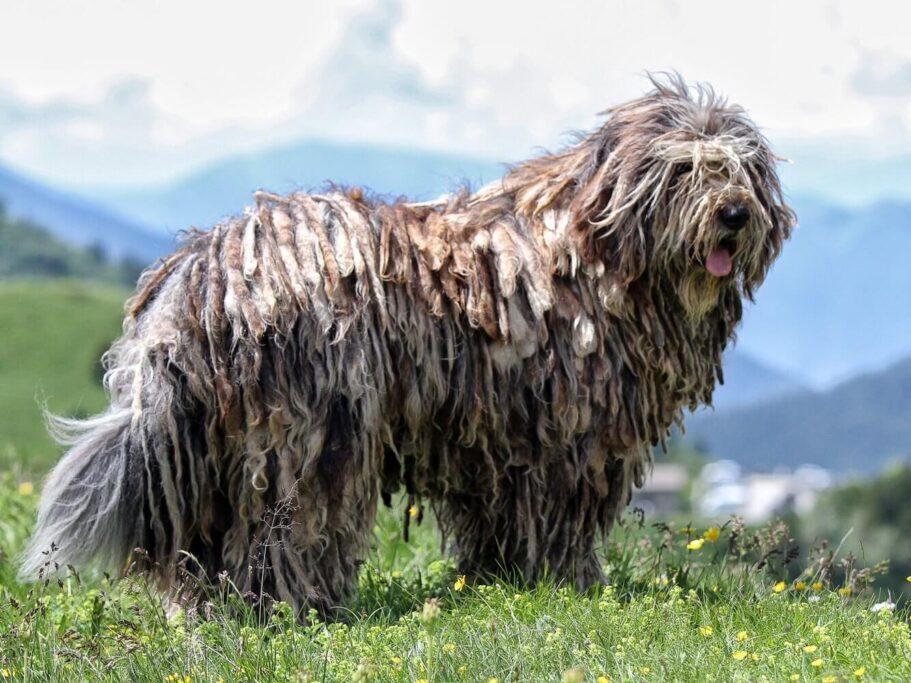 perro de raza bergamasco en un campo abierto sacando la lengua