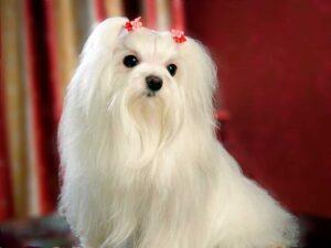 perro de raza bichón maltes blanco con dos broches rojos en el pelo