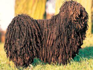 perro de raza puli marron parada en el parque