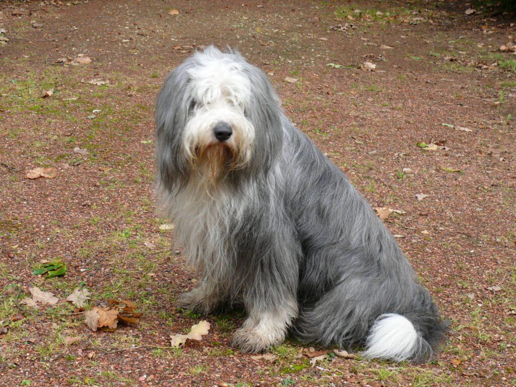 perro de raza viejo pastor ingles sentado en la tierra