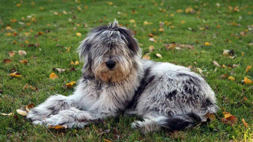 razas de perros bergamasco