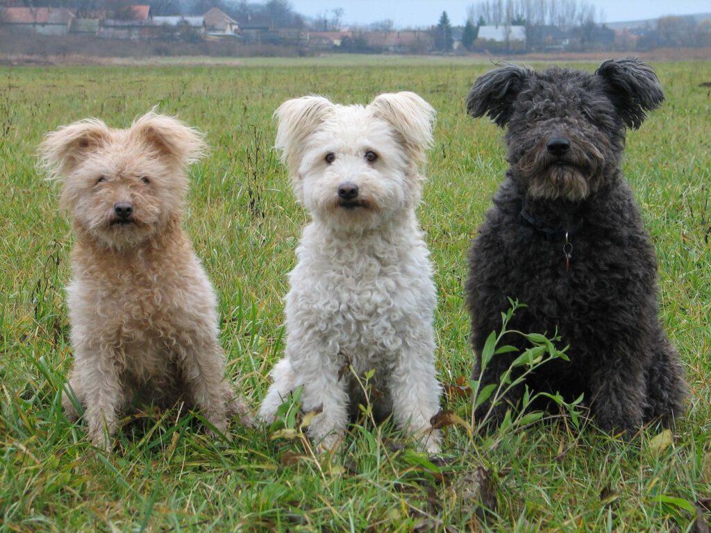 tres perros de raza pumi de distintos colores sentados en un campo