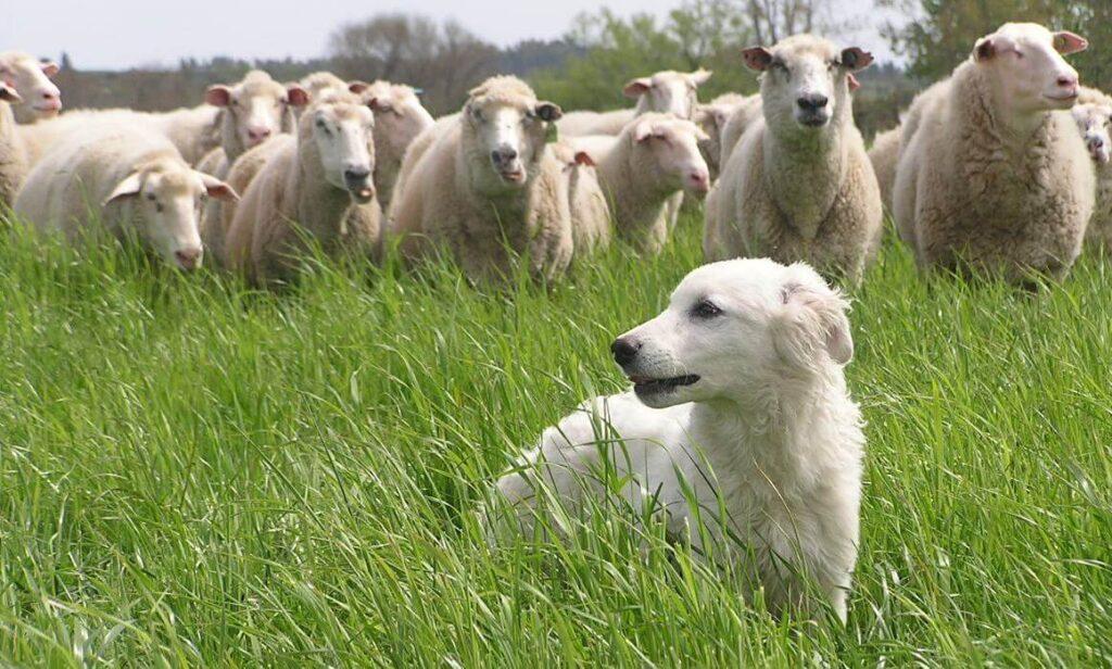 Perro de pastor de la Maremma y de los Abruzos cuidando el rebaño de ovejas