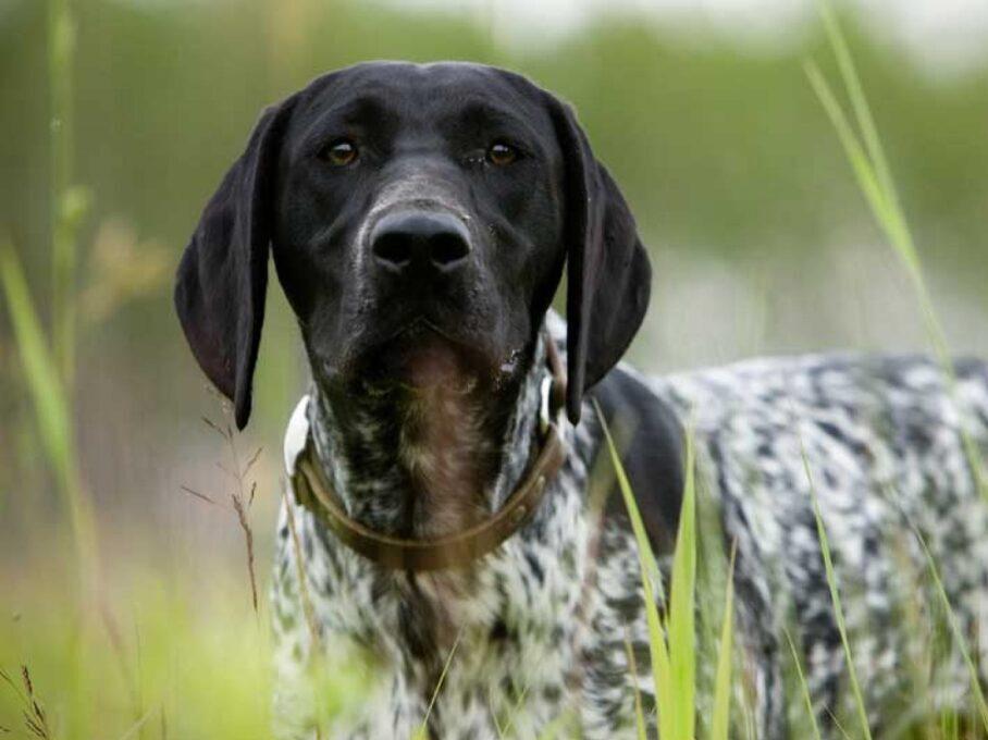 cabeza del perro de raza braco aleman de pelo corto