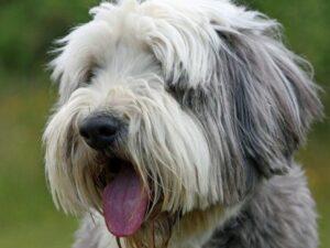 cabeza perro de raza collie barbudo Bearded collie sacando la lengua