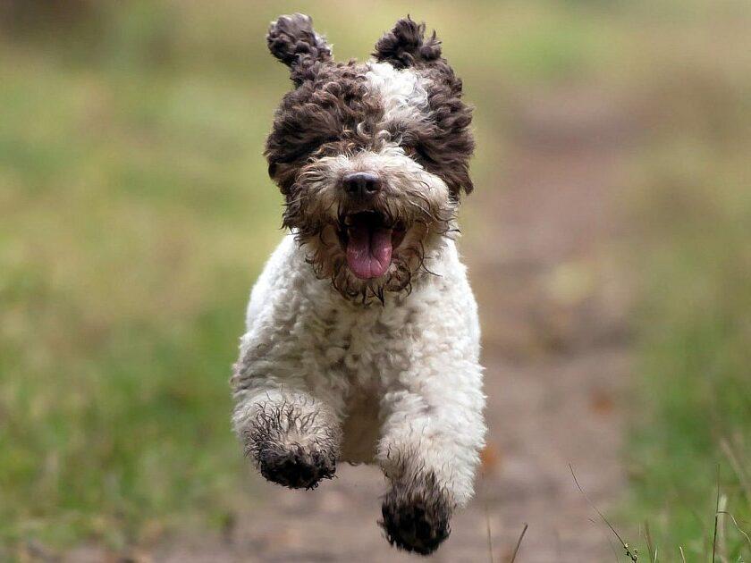 cachorro de lagotto romagnolo corriendo en el campo