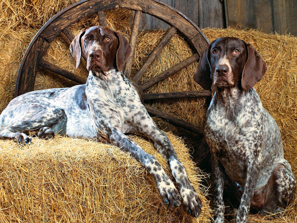 dos perros de raza braco aleman de pelo corto en el pienso