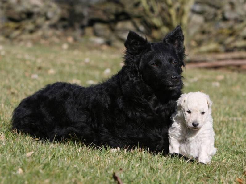 dos perros de raza mudi cachorro blanco y perro negro