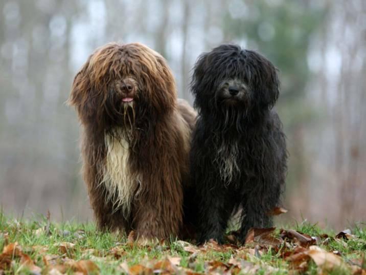dos perros de raza schapendoes marron y negro