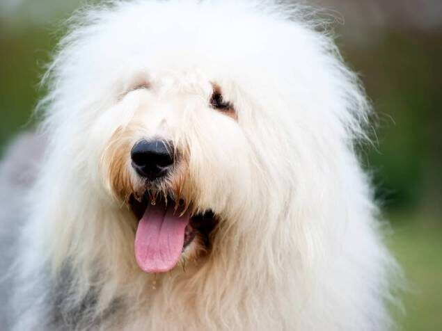 perro de raza pastor ucraniano sacando la lengua