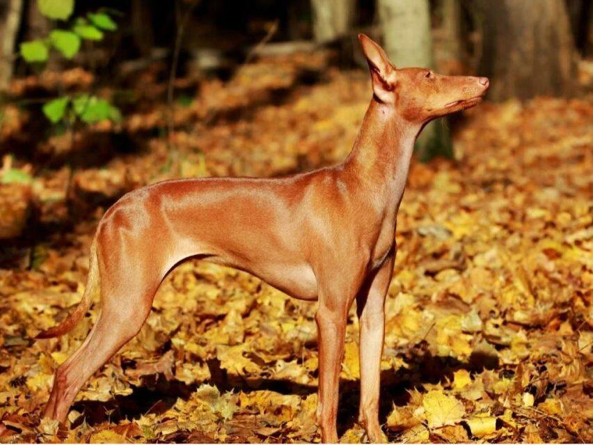 perro de raza Cirneco Dell'Etna de perfil en otoño
