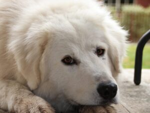 perro de raza Pastor Maremmano acostado