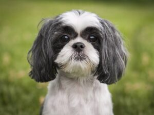 perro de raza Shih Tzu