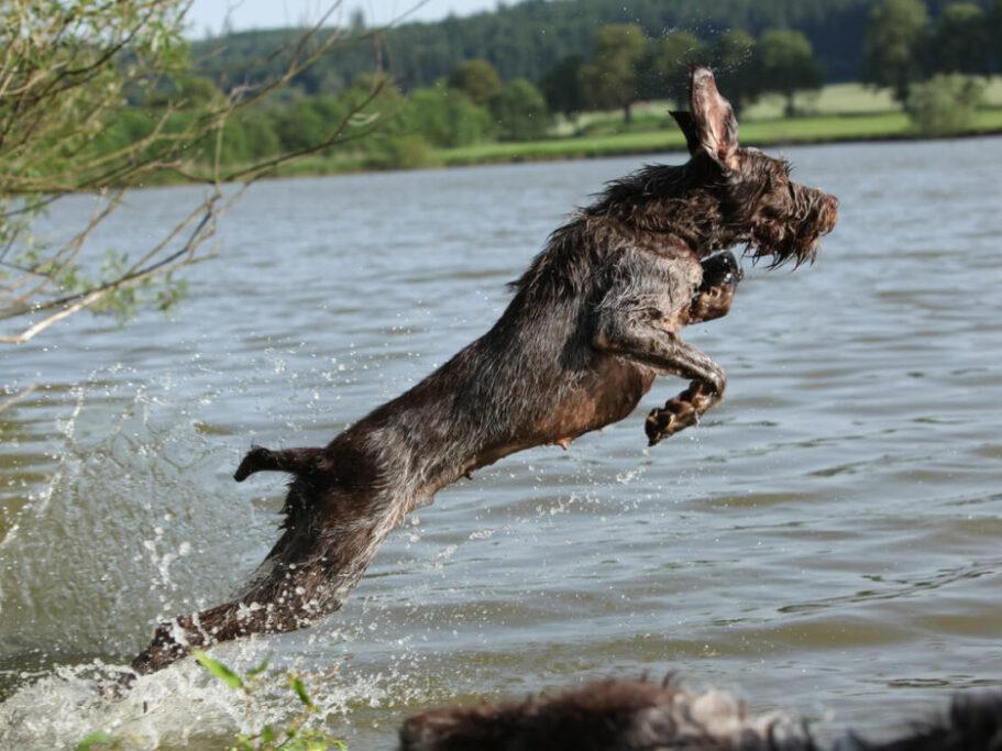 perro de raza espinone saltando sobre el agua