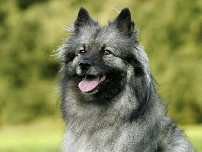 perro de raza keeshond sentado en el campo
