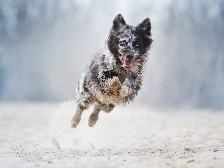 perro de raza mudi blanco con manchas y ojos celestes saltando en la nieve